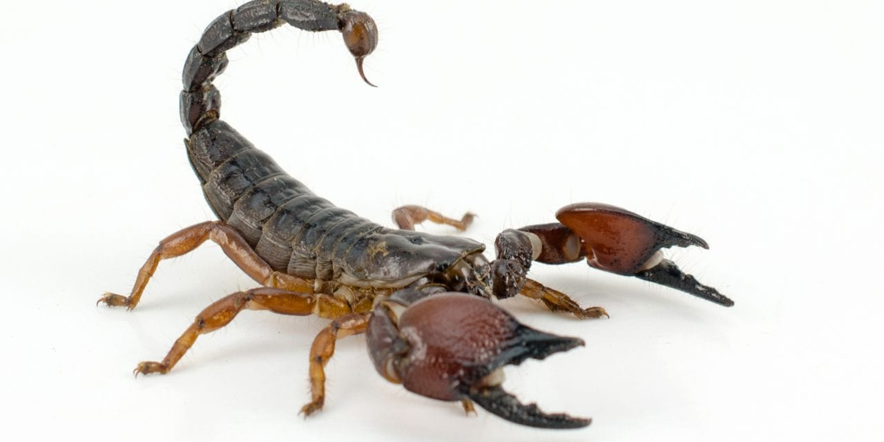 New Imaging Technique Relies on Scorpion Venom to Highlight Brain Tumors