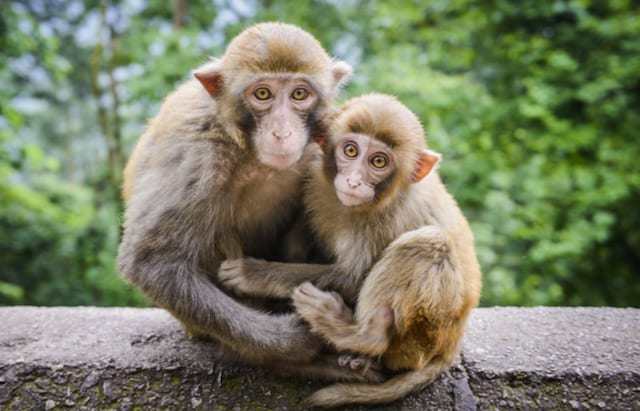 COVID-19 Reinfection Not a Concern, Monkey Study Suggests